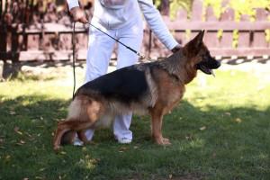 MANIK DU MAISON ONEGA  _купить щенка немецкой овчарки в Одинцово