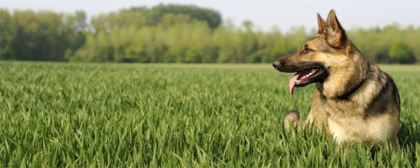 Немецкая овчарка — моя лучшая собака