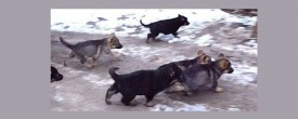 Искусственное вскармливание щенков