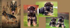 Предлагаем купить щенка немецкой овчарки от Manik Du Maison — пометы 14.03.19; 21.03.19