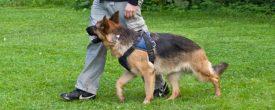 Как правильно дрессировать немецкую овчарку