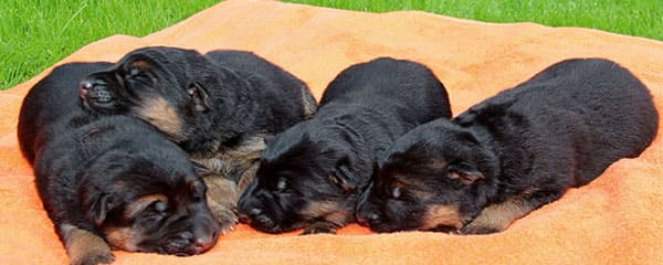 Рождение щенят немецкой овчарки