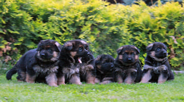 Уход за щенками немецкой овчарки