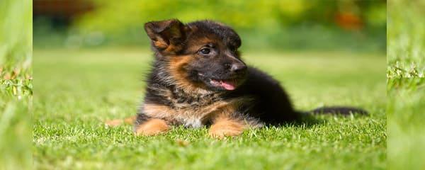 Как купить здорового щенка немецкой овчарки?