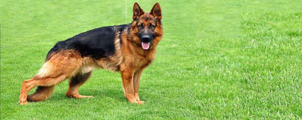 Что лучше: купить щенка или взрослую немецкую овчарку?