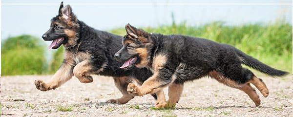 Содержание щенка немецкой овчарки