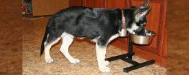 Основы правильного питания щенка немецкой овчарки