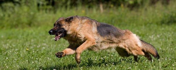 Обучение командам щенка немецкой овчарки