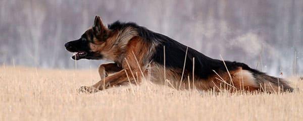 Немецкая овчарка – характерные признаки породы