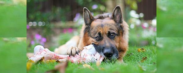 Рацион питания немецкой овчарки